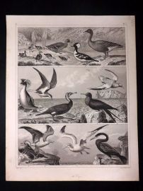 Heck 1849 Antique Bird Print. Ducks, Penguin, Teal, Gull